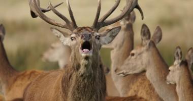 open deer